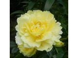 Роза Раффлс (10)