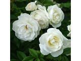Роза флорибунда (17)