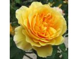 Роза английская (5)