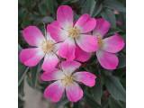 Роза сизая
