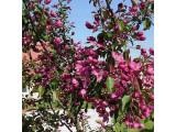 Яблоня декоративная (0)