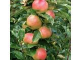 Яблоня колоновидная (22)