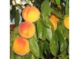 Персик (6)