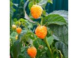 Малина желтоплодная (10)