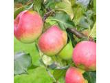 Яблоня традиционная
